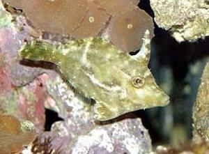 Aiptasia eating file fish acreichthys tomentosus for Aiptasia eating fish