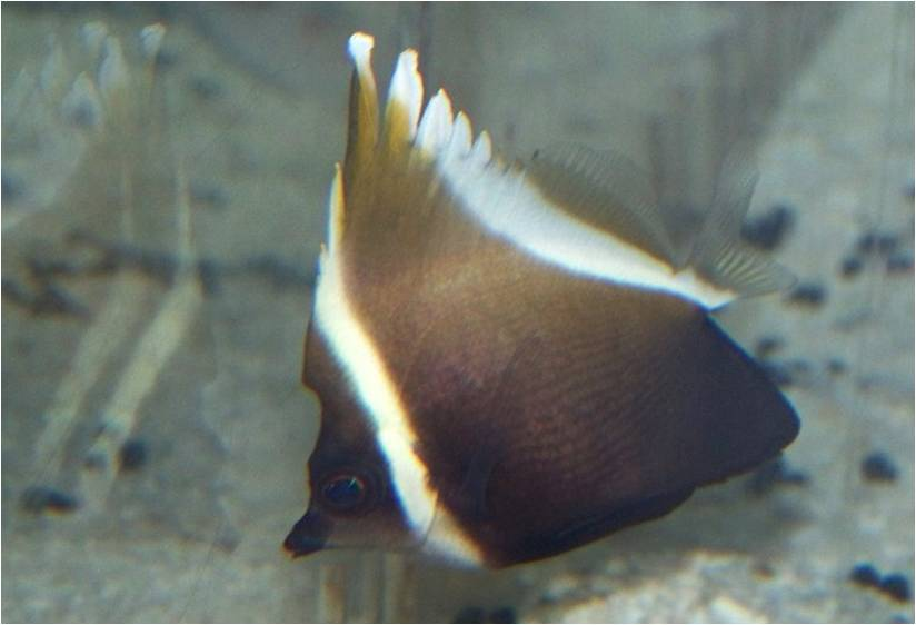 Brown And White Butterflyfish Heniochus Brown Butterflyfish